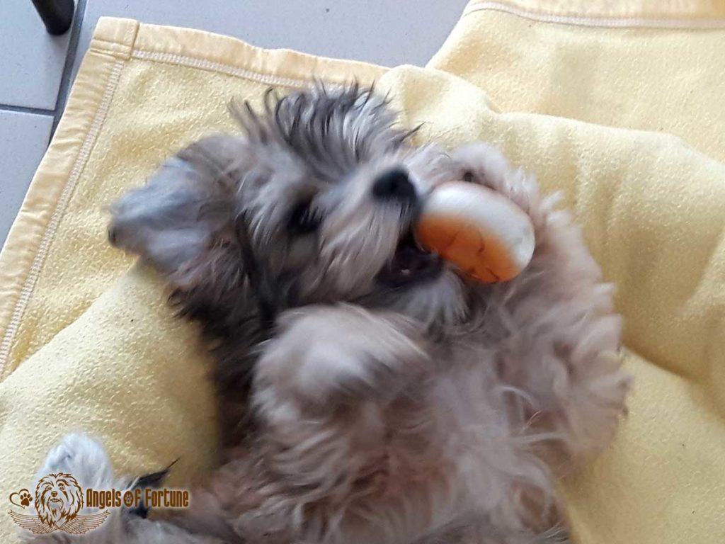 Bichette, Angels of Fortune, Havaneser, Hunde, Züchter, Berlin, Brandenburg, Deutschland, VDH, FCI, Welpen, Fotos, Bilder, niedlich, havanese, dogs, puppy, puppies, breeder, Germany, cute, photos, pictures, 16 Wochen, 16 weeks