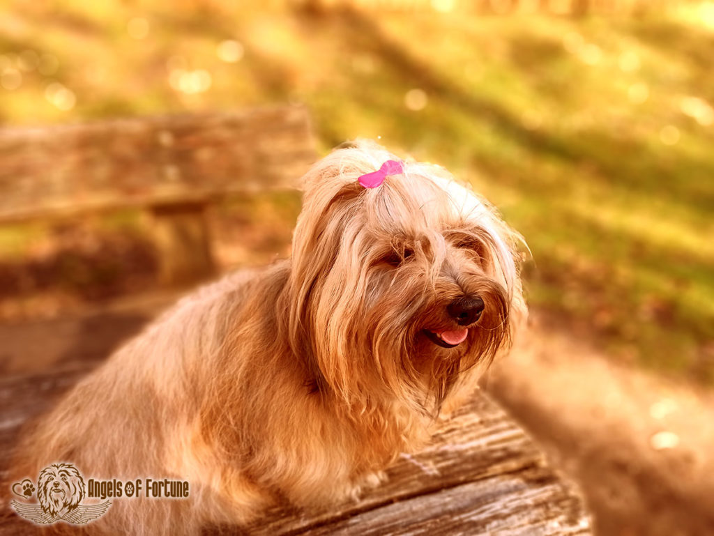 Bichette, Angels of Fortune, Havaneser, Hunde, Züchter, Berlin, Brandenburg, Deutschland, VDH, FCI, Welpen, Fotos, Bilder, niedlich, havanese, dogs, puppy, puppies, breeder, Germany, cute, photos, pictures, 3 Jahre, 3 years