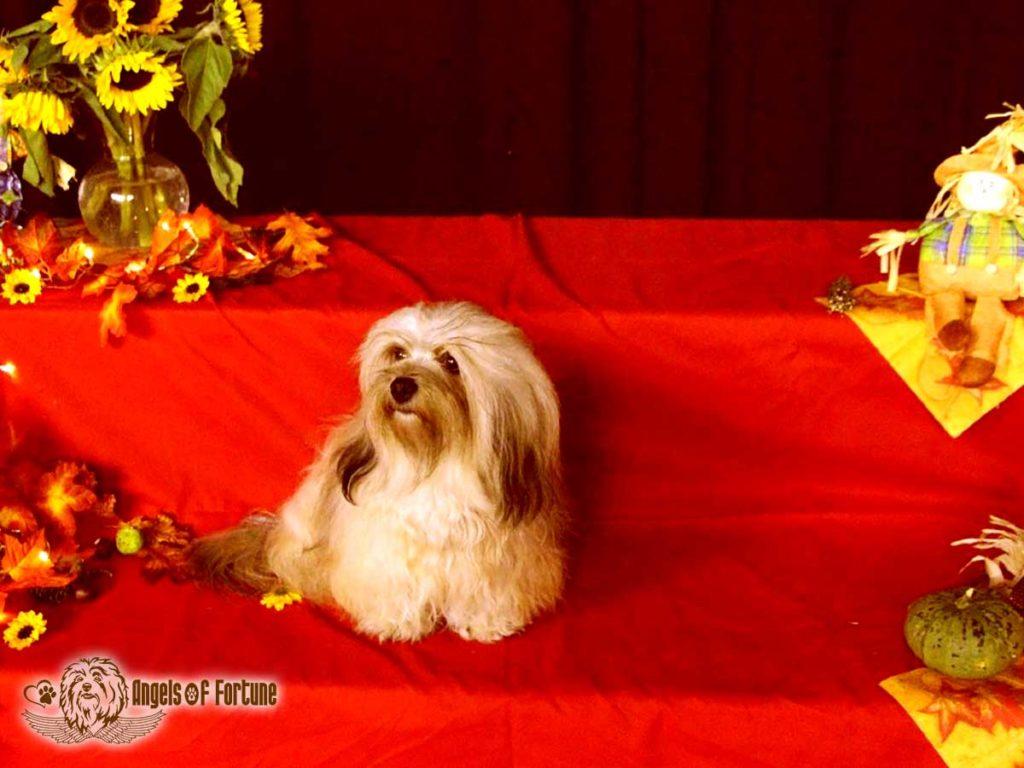 Bichette, Angels of Fortune, Havaneser, Hunde, Züchter, Berlin, Brandenburg, Deutschland, VDH, FCI, Welpen, Fotos, Bilder, niedlich, havanese, dogs, puppy, puppies, breeder, Germany, cute, photos, pictures, 18 Monate, 18 month