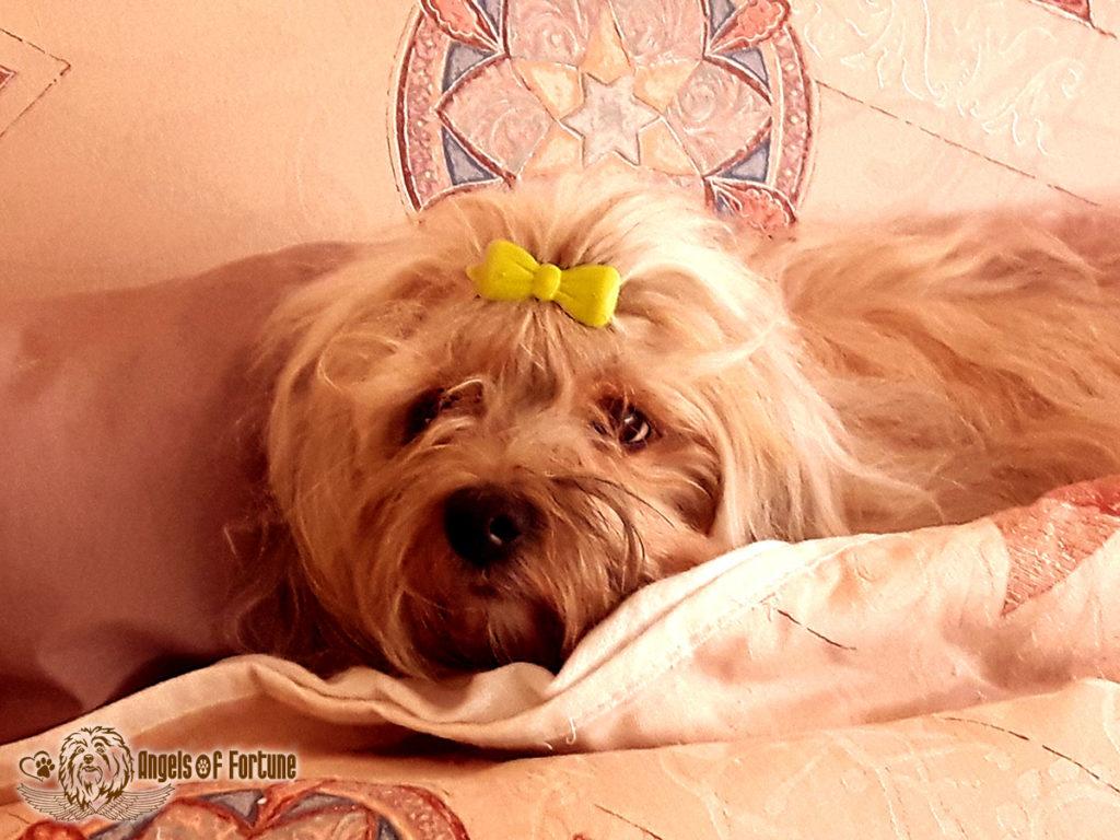 Bichette, Angels of Fortune, Havaneser, Hunde, Züchter, Berlin, Brandenburg, Deutschland, VDH, FCI, Welpen, Fotos, Bilder, niedlich, havanese, dogs, puppy, puppies, breeder, Germany, cute, photos, pictures, 2.5 Jahre, 2.5 years