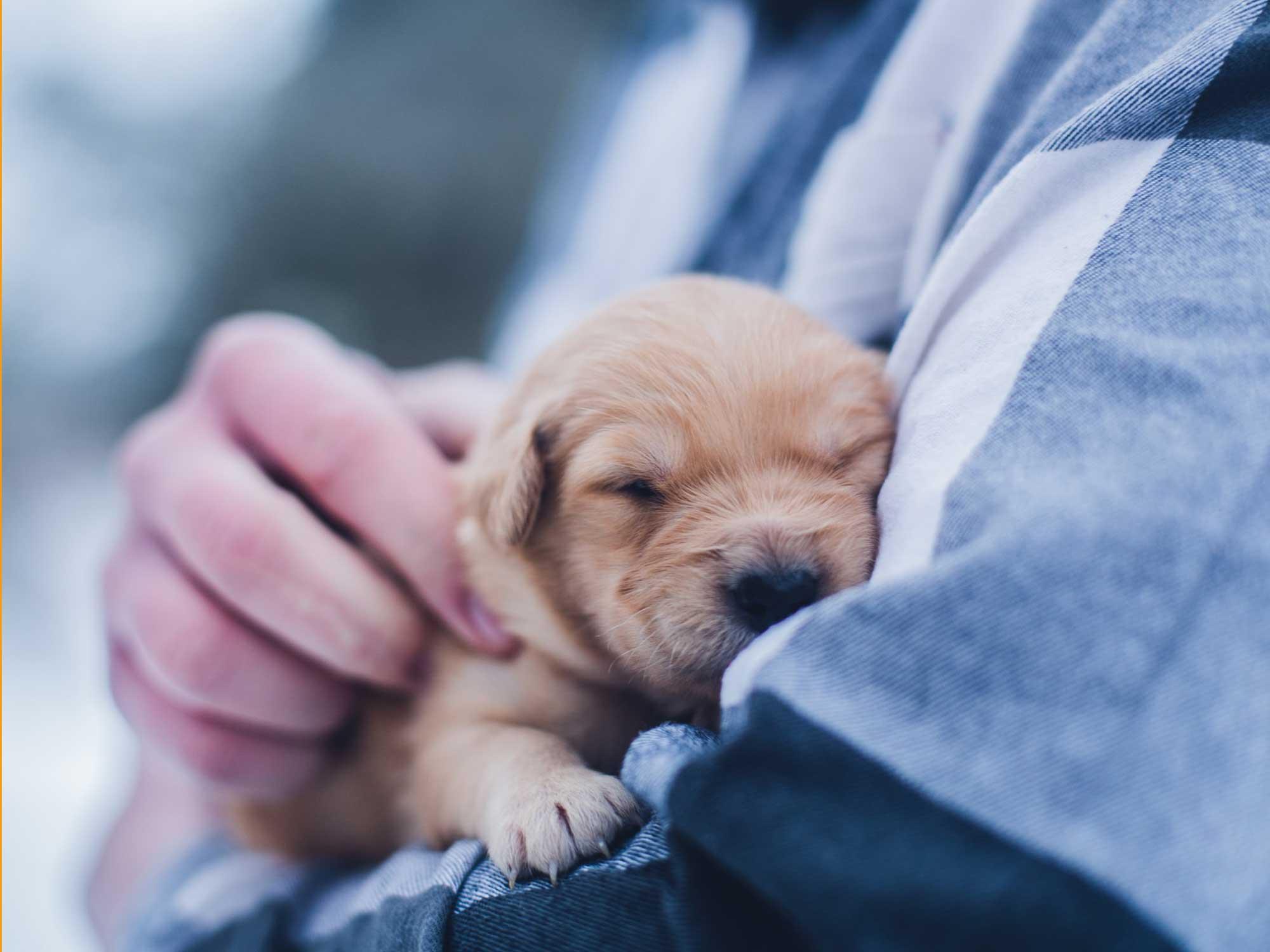Bichette, Angels of Fortune, Havaneser, Hunde, Züchter, Berlin, Brandenburg, Deutschland, VDH, FCI, Welpen, Fotos, Bilder, niedlich, havanese, dogs, puppy, puppies, breeder, Germany, cute, photos, pictures