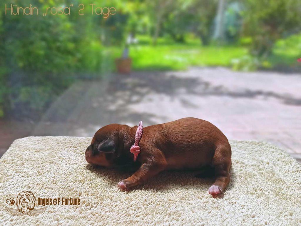Aditi, Angels of Fortune, Havaneser, Hunde, Züchter, Berlin, Brandenburg, Deutschland, VDH, FCI, Welpen, Fotos, Bilder, niedlich, havanese, dogs, puppy, puppies, breeder, Germany, cute, photos, pictures, 2 Tage, 2 days