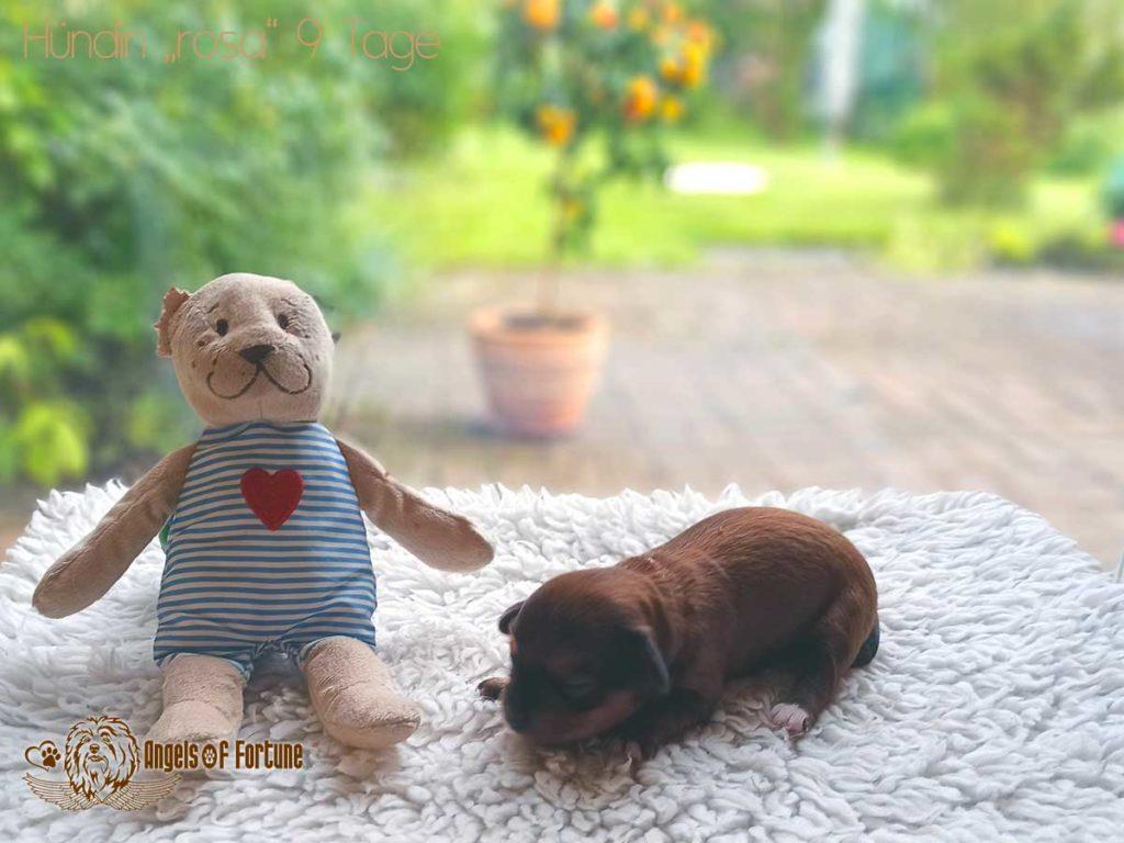 Aditi, Angels of Fortune, Havaneser, Hunde, Züchter, Berlin, Brandenburg, Deutschland, VDH, FCI, Welpen, Fotos, Bilder, niedlich, havanese, dogs, puppy, puppies, breeder, Germany, cute, photos, pictures, 9 Tage, 9 days