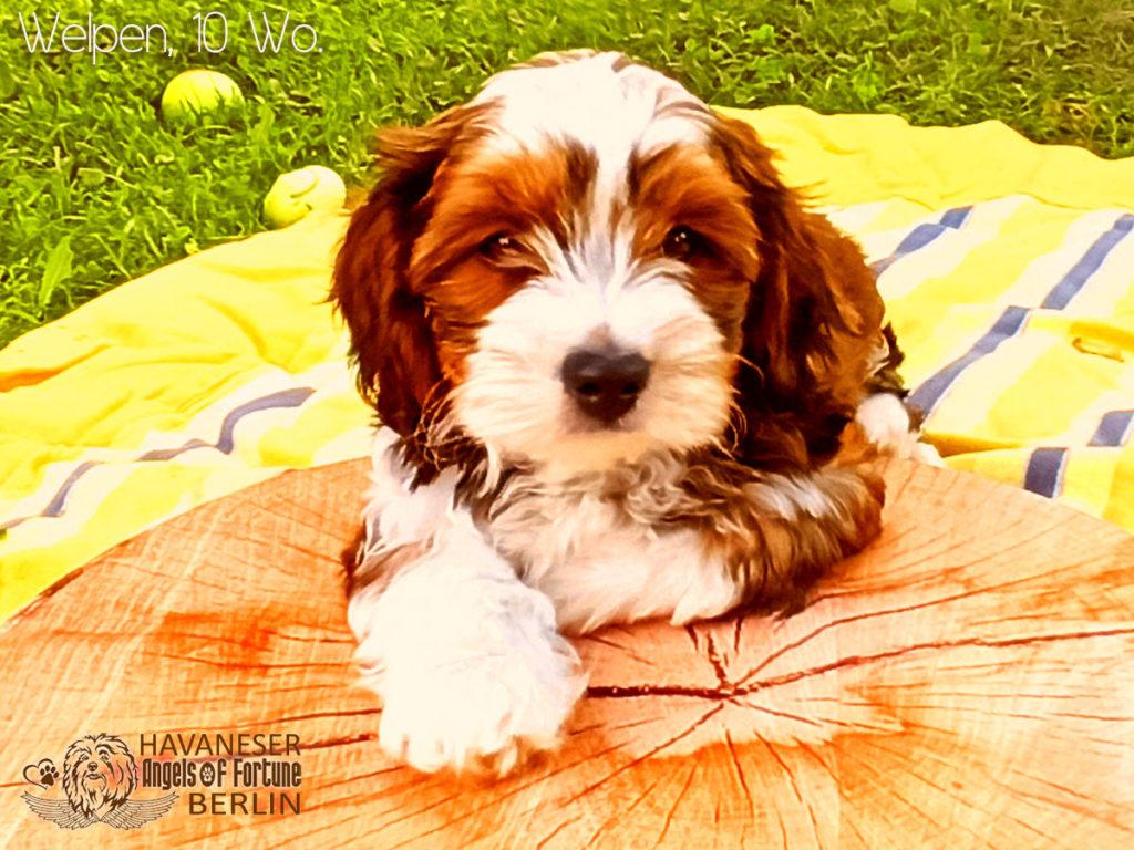 Angels of Fortune, Havaneser, Hunde, Züchter, Berlin, Brandenburg, Deutschland, VDH, FCI, Welpen, Fotos, Bilder, niedlich, havanese, dogs, puppy, puppies, breeder, Germany, cute, photos, pictures, 10 Wochen, 10 weeks
