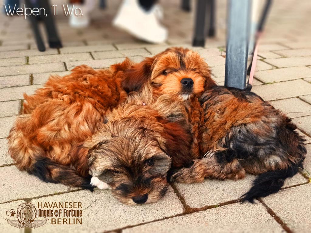 Angels of Fortune, Havaneser, Hunde, Züchter, Berlin, Brandenburg, Deutschland, VDH, FCI, Welpen, Fotos, Bilder, niedlich, havanese, dogs, puppy, puppies, breeder, Germany, cute, photos, pictures, 11 Wochen, 11 weeks