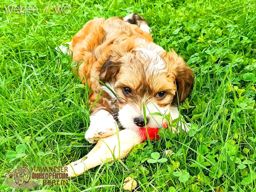 Angels of Fortune, Havaneser, Hunde, Züchter, Berlin, Brandenburg, Deutschland, VDH, FCI, Welpen, Fotos, Bilder, niedlich, havanese, dogs, puppy, puppies, breeder, Germany, cute, photos, pictures, 7 Wochen, 7 weeks