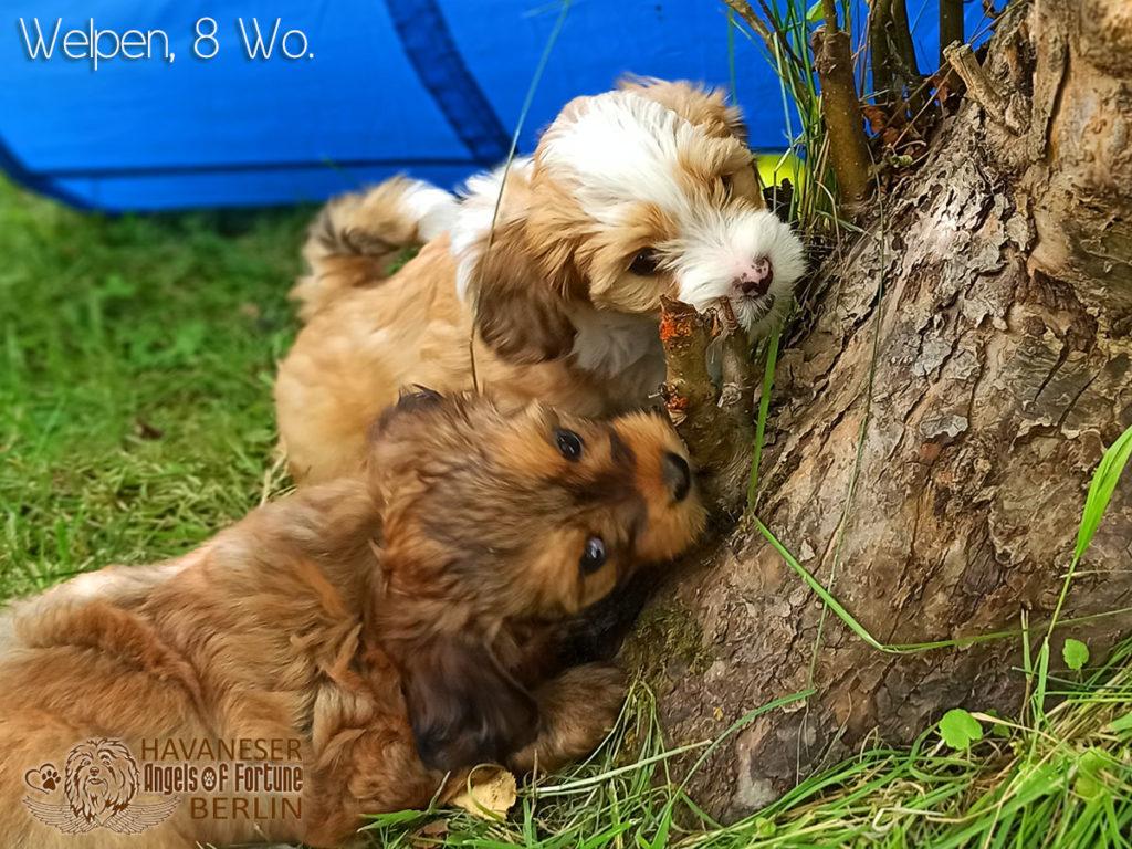 Angels of Fortune, Havaneser, Hunde, Züchter, Berlin, Brandenburg, Deutschland, VDH, FCI, Welpen, Fotos, Bilder, niedlich, havanese, dogs, puppy, puppies, breeder, Germany, cute, photos, pictures, 8 Wochen, 8 weeks